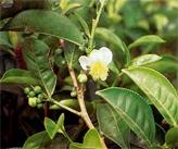 чайное дерево сада Никита
