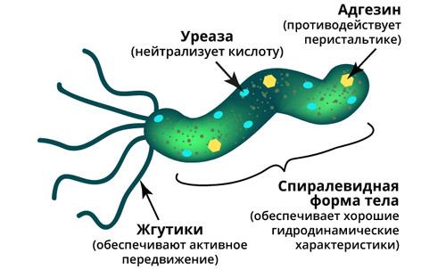 строение бактерии H. pylori
