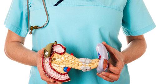 Пластмассовый макет поджелудочной и желчного пузыря в руках у врача