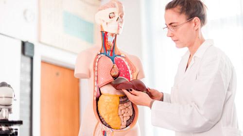 врач демонстрирует макет внутренних органов человека