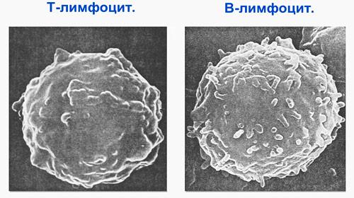 Т-лимфоцит и В-лимфоцит под микроскопом