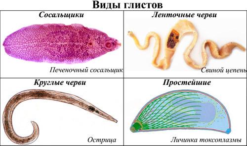 виды глистов у человека: Печеночный сосальщик, Свиной цепень, Острицы, Токсоплазмоз