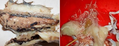 глисты в рыбе и кальмарах