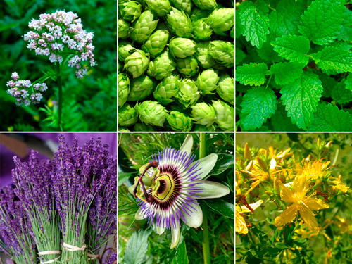 растительные средства от бессонницы: валериана, шишки хмеля, мелиса, лаванда, пассифлора, зверобой