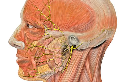 анатомия головы человека и лицевого нерва