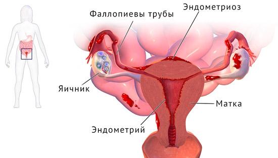 строение женских половых органов