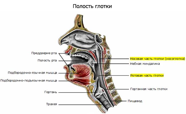 Заболевания ринит фарингит ангина и их причины книга